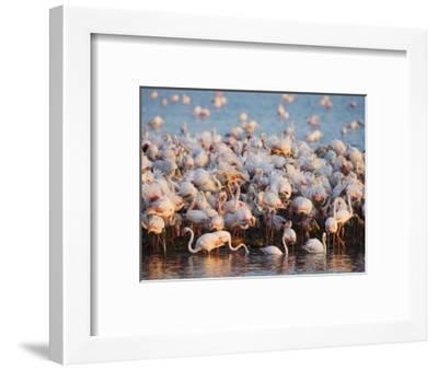 Greater flamingo colony in lagoon-Theo Allofs-Framed Photographic Print