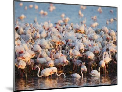 Greater flamingo colony in lagoon-Theo Allofs-Mounted Photographic Print