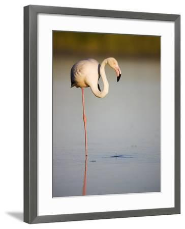 Greater flamingo in lagoon-Theo Allofs-Framed Photographic Print
