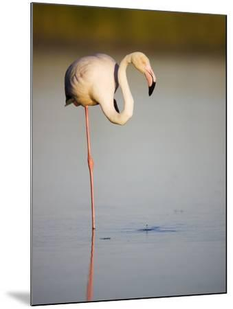 Greater flamingo in lagoon-Theo Allofs-Mounted Photographic Print
