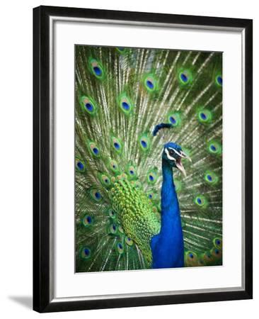Screaming peacock-Grafton Smith-Framed Photographic Print