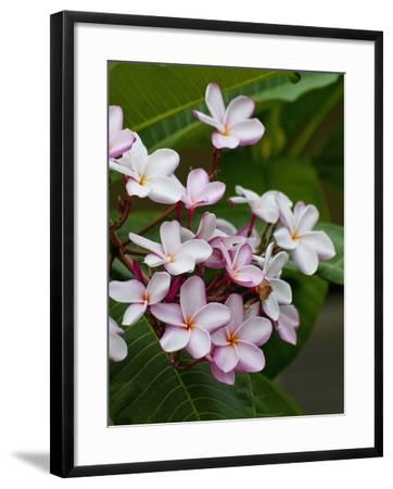 Pink frangipani in bloom-Bob Krist-Framed Photographic Print