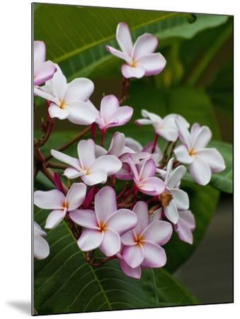 Pink frangipani in bloom-Bob Krist-Mounted Photographic Print