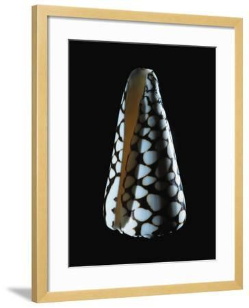 Cone Shell--Framed Photographic Print