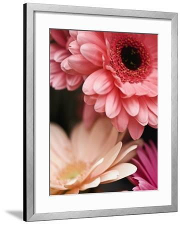 Gerber daisies-Angela Drury-Framed Photographic Print