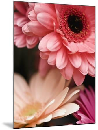 Gerber daisies-Angela Drury-Mounted Photographic Print