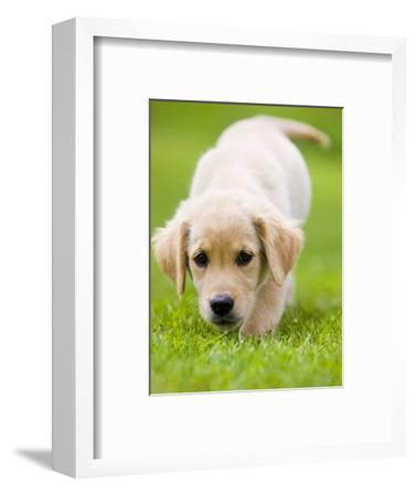 Golden Retriever Puppy Playing Outdoors-Jim Craigmyle-Framed Photographic Print