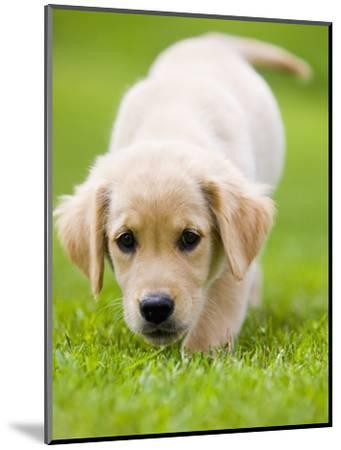 Golden Retriever Puppy Playing Outdoors-Jim Craigmyle-Mounted Photographic Print