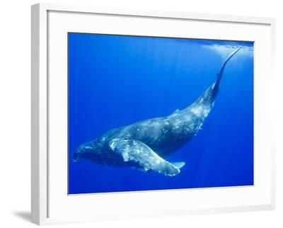 Humpback Whale Underwater-Paul Souders-Framed Photographic Print