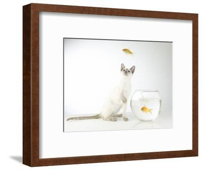 Siamese kitten with jumping goldfish-Steve Lupton-Framed Photographic Print