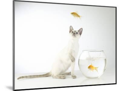 Siamese kitten with jumping goldfish-Steve Lupton-Mounted Photographic Print