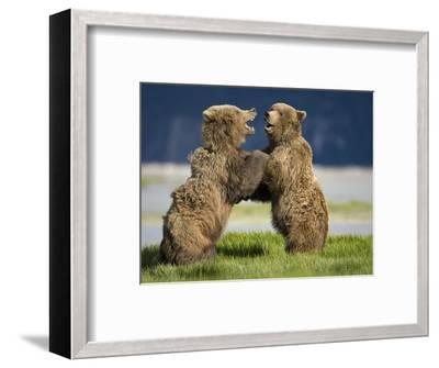 Grizzly Bears Sparring at Hallo Bay in Katmai National Park-Paul Souders-Framed Photographic Print