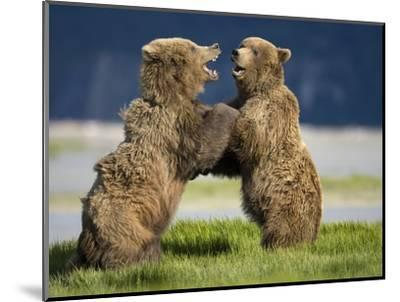 Grizzly Bears Sparring at Hallo Bay in Katmai National Park-Paul Souders-Mounted Photographic Print