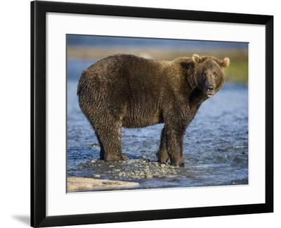 Brown Bear in Stream at Kukak Bay in Katmai National Park-Paul Souders-Framed Photographic Print