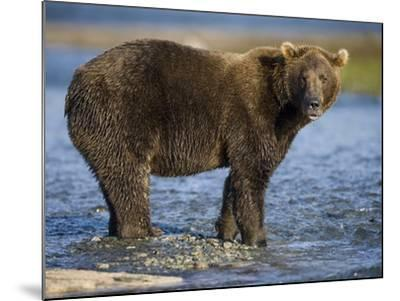 Brown Bear in Stream at Kukak Bay in Katmai National Park-Paul Souders-Mounted Photographic Print