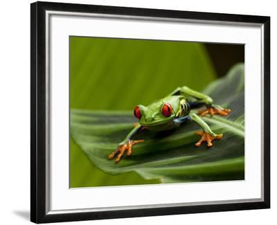 Tree Frog in Costa Rica-Paul Souders-Framed Photographic Print