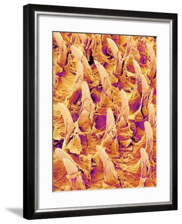 Tongue filiform papillae of a rabbit magnified x300-Micro Discovery-Framed Photographic Print