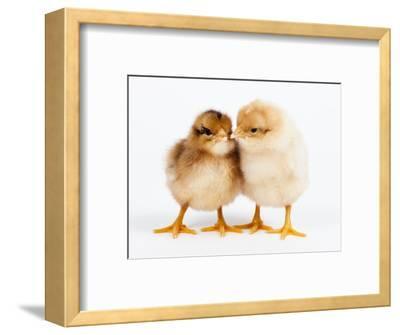 Day-old chicks-Frank Lukasseck-Framed Photographic Print