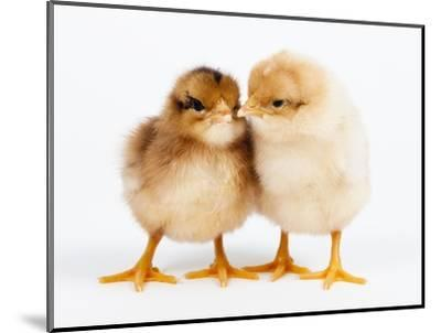 Day-old chicks-Frank Lukasseck-Mounted Photographic Print