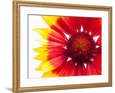 Blanketflower-Frank Lukasseck-Framed Photographic Print