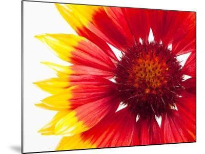 Blanketflower-Frank Lukasseck-Mounted Photographic Print