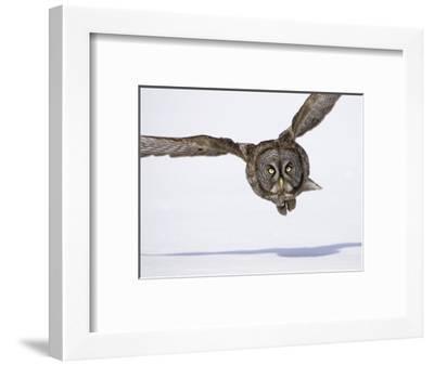 Great Gray Owl Hunting Over Snow-Joe McDonald-Framed Photographic Print
