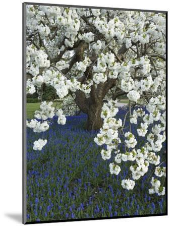 Cherry tree blooming over Muscari armeniacum-Clive Nichols-Mounted Photographic Print