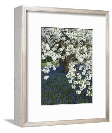 Cherry tree blooming over Muscari armeniacum-Clive Nichols-Framed Photographic Print