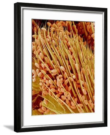 Leg of a bee with pollen-Micro Discovery-Framed Photographic Print