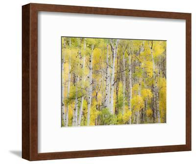 Stand of Aspens in autumn-Frank Lukasseck-Framed Photographic Print