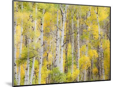 Stand of Aspens in autumn-Frank Lukasseck-Mounted Photographic Print