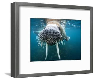 Adult Male Walrus, Lagoya, Svalbard, Norway-Paul Souders-Framed Photographic Print