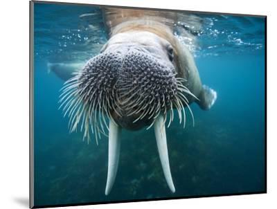 Adult Male Walrus, Lagoya, Svalbard, Norway-Paul Souders-Mounted Photographic Print