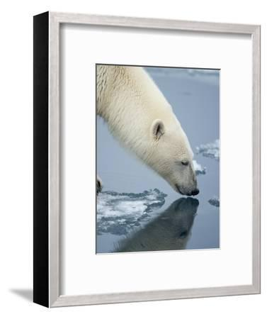 Polar Bear sniffing water-Paul Souders-Framed Photographic Print