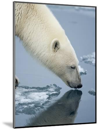 Polar Bear sniffing water-Paul Souders-Mounted Photographic Print