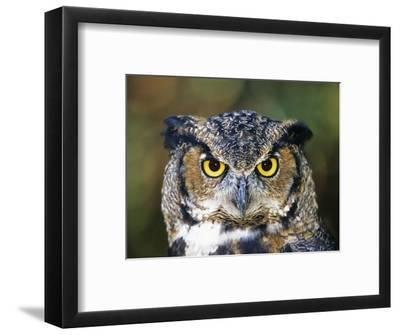 Great Horned Owl (Bubo Virginianus) Portrait, Canada-Ethan Meleg-Framed Photographic Print