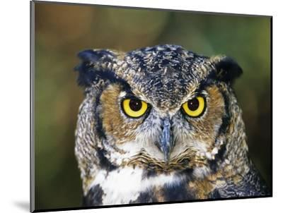 Great Horned Owl (Bubo Virginianus) Portrait, Canada-Ethan Meleg-Mounted Photographic Print
