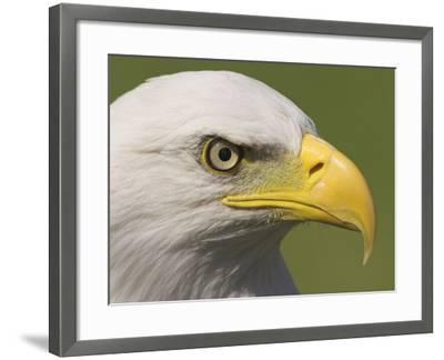 Bald Eagle Head Detail, British Columbia, Canada.-Glenn Bartley-Framed Photographic Print
