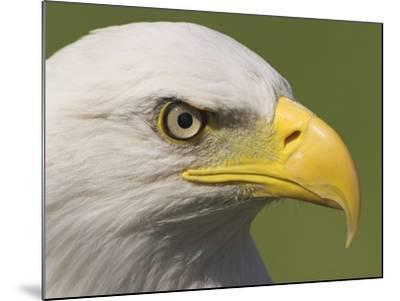 Bald Eagle Head Detail, British Columbia, Canada.-Glenn Bartley-Mounted Photographic Print