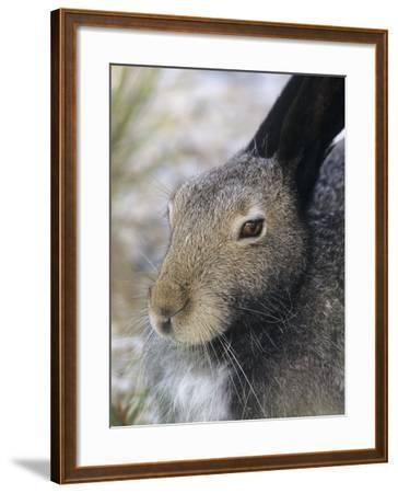 Artic Hare (lepus Articus) in Summer, Churchill Manitoba, Canada-Don Johnston-Framed Photographic Print