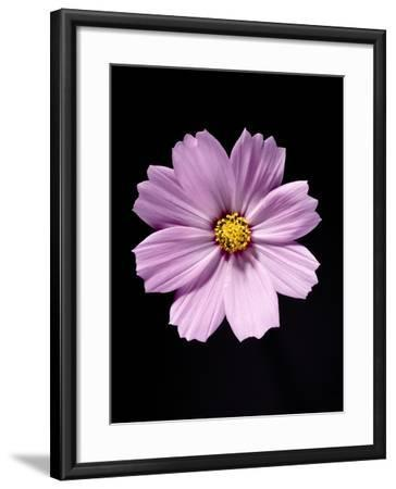 Close-up of a cosmos-Sung-Il Kim-Framed Photographic Print