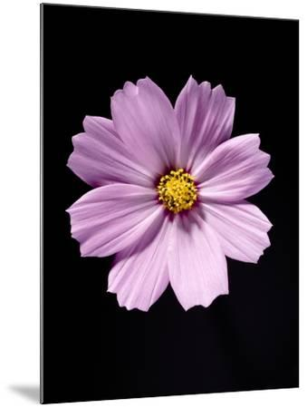 Close-up of a cosmos-Sung-Il Kim-Mounted Photographic Print