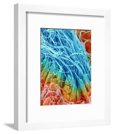 Sperm in rat testis-Micro Discovery-Framed Photographic Print