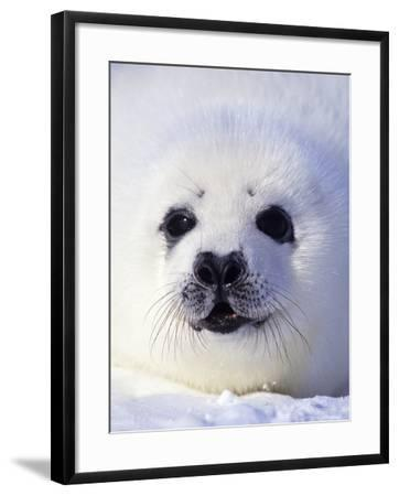Week-old Harp Seal (Phoca Groenlandica) Pup (whitecoat), Gulf of the St. Lawrence River, Canada.-Wayne Lynch-Framed Photographic Print