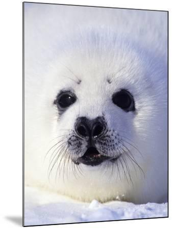 Week-old Harp Seal (Phoca Groenlandica) Pup (whitecoat), Gulf of the St. Lawrence River, Canada.-Wayne Lynch-Mounted Photographic Print