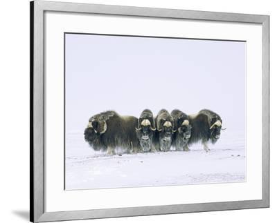 Adult Bull Muskoxen (Ovibos Moschatus) in Defensive Line. Banks Island, Northwest Territories, Arct-Wayne Lynch-Framed Photographic Print