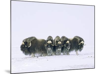 Adult Bull Muskoxen (Ovibos Moschatus) in Defensive Line. Banks Island, Northwest Territories, Arct-Wayne Lynch-Mounted Photographic Print
