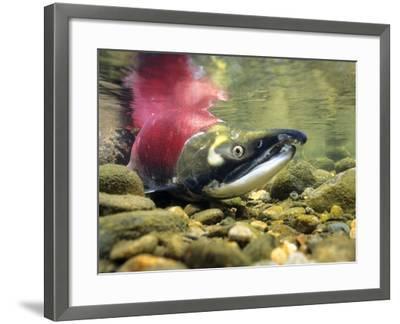 Sockeye Salmon, Adams River, Shuswap, British Columbia, Canada-Wayne Lynch-Framed Photographic Print
