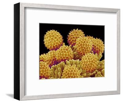 Pollen on pistel of a Morning glory-Micro Discovery-Framed Photographic Print