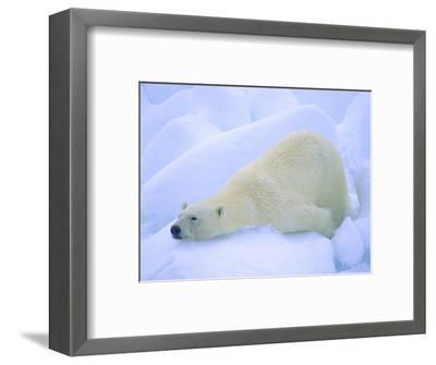 Adult Polar Bear (Ursus Maritimus) Cleaning Its Fur on the Snow. Svalbard, Arctic Norway.-Wayne Lynch-Framed Photographic Print